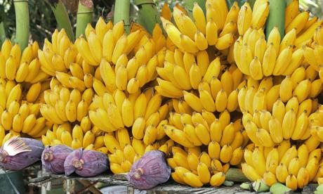 สารอุ้มน้ำ bio100 ใช้ปลูกกล้วยไข่