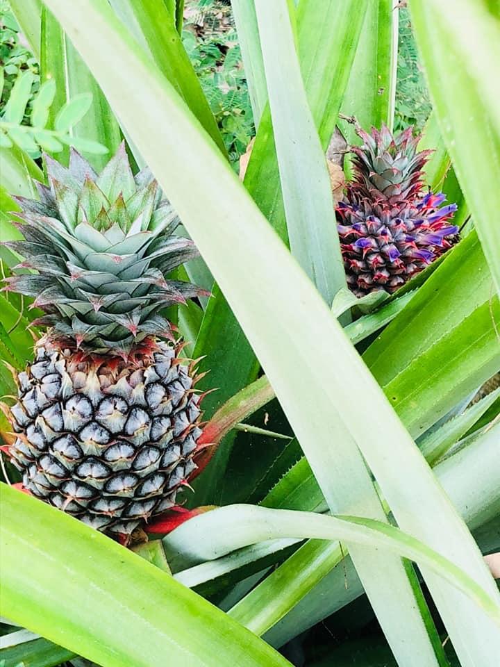 ปลูกสับปะรดโดยใช้ bio100h2o ฝังไว้ใต้โคนต้น