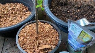 ใช้สารอุ้มน้ำ ช่วยดูแลต้นทับทิมอินเดีย